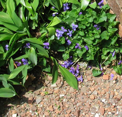 Violet_surprise
